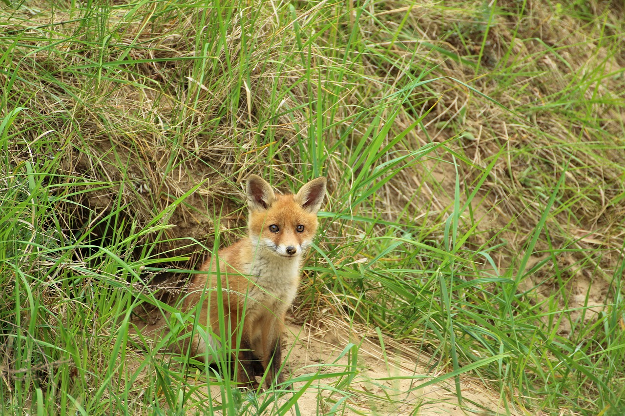 young-fox-1404017_1280