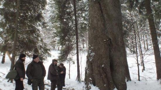 Królowa polskich lasów rośnie w Bieszczadach (ZDJĘCIA)