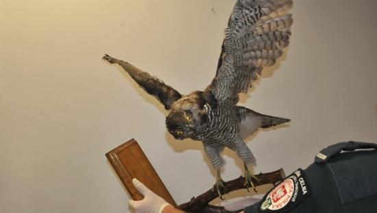 Jastrząb gołębiarz i myszołów w Budomierzu, pijawki w Medyce (ZDJĘCIA)