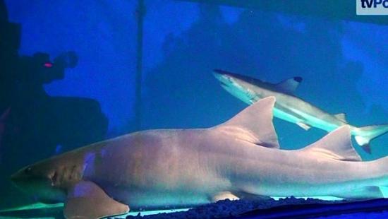 Rekiny na sanockim rynku! (FILM)