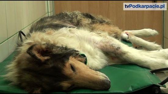 Maltretowany owczarek koli został uśpiony. Czy można było zapobiec śmierci psa? (FILM)