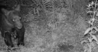 ŻOHATYN: Fotopułapka zarejestrowała spacer misia pod Dynowem (ZDJĘCIA)
