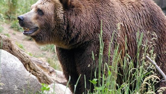 BIESZCZADY: Spotkanie oko w oko z niedźwiedziem. Szukał rogów a natknął się na misia
