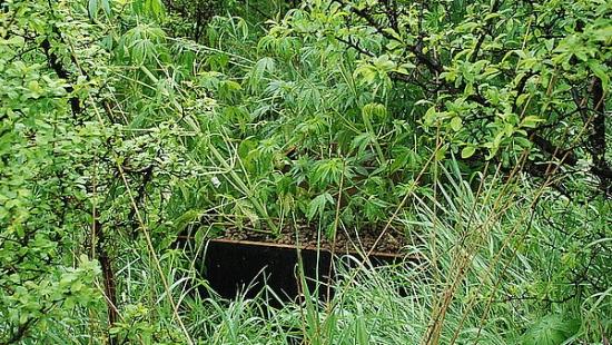 W lesie uprawiali konopie indyjskie