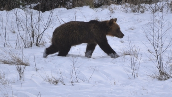 Niedźwiedzie coraz częściej widoczne (ZDJĘCIA)