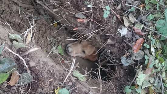 Policjanci i strażacy uwolnili psa, który utknął w lisiej jamie (ZDJĘCIA)