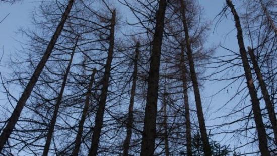 Zamierają drzewa w bieszczadzkich lasach (ZDJĘCIA)