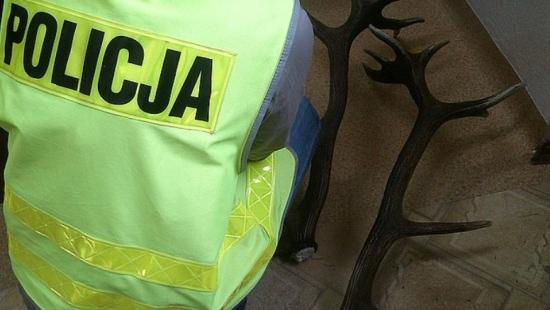 Policjanci odzyskali skradzione poroże jelenia o wartości 1000 zł